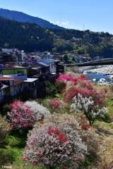 木曽川沿いの花桃