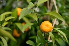 黄色の果実