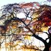 綺麗な紅葉  見事な枝ぶり