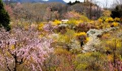 茂木 花の山