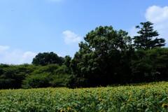 ひまわり 畑