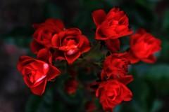 艶めく 薔薇