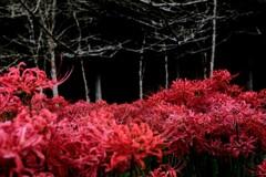 赤い  海に  咲く