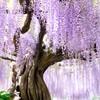 上籠谷の藤
