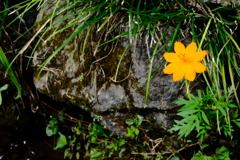 小川に  咲く