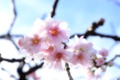春を 待てづに