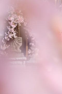 狛犬と枝垂桜