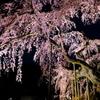 夜に浮かぶ  桜