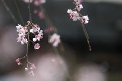 やっぱり前ボケが好き!~桜シーズン駆け足~