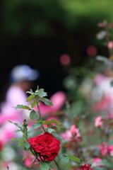 薔薇と少女と玉ボケと