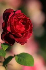 薔薇(赤)