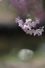 花と月はお友達 ~桜はいつだって駆け足編~