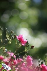 やっぱり玉ボケが好き! ~初夏の薔薇~