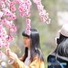 枝垂れ桜めでる人々