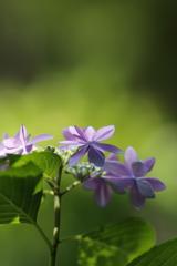 紫陽花(木漏れ日)その2