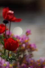 花と月はお友だち ~チューリップ編~