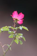 秋薔薇一輪