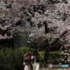 花のような人々 ~桜の大樹の下で編~
