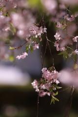 誰がために桜は咲く