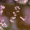 枝垂れ桜舞う水辺