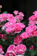 One million roses(その2)