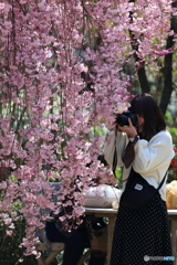 枝垂れ桜とカメラ女子
