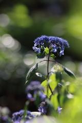 紫陽花(今年初)