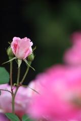 One million roses(その3)