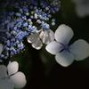 紫陽花(木漏れ日)