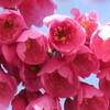 櫻の競演 寒緋桜