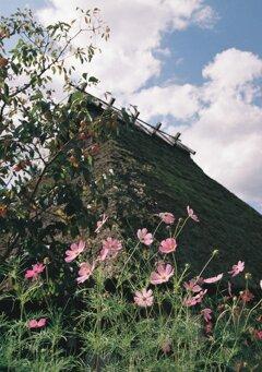 秋桜と茅葺屋根