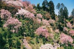 桜、さくら、櫻、