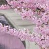 河津桜と桜色の水路