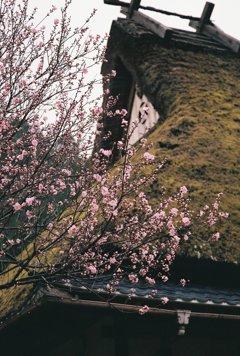 かやぶきの里、春その6