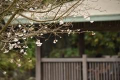 十月の桜は寂しそうに咲く