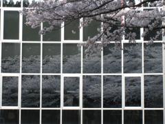 桜映り込み