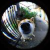 近所の柴犬  手作りFish-eyeレンズ 作例①