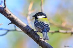 可愛い小鳥(シジュウカラ)