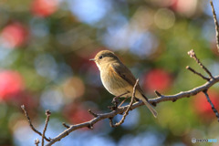 可愛い小鳥(日向ぼっこ)