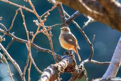 可愛い小鳥(ジョウビタキ)