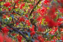 小鳥の林檎