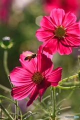 赤紫色の秋桜 蜜蜂乱入