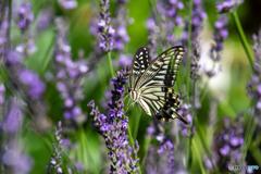 花に蝶(ラベンダーの香り)