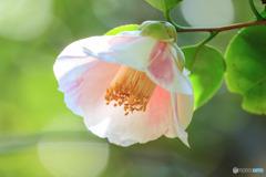 花の蜜/椿(千代田錦)