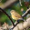 可愛い小鳥(ルリビタキ)