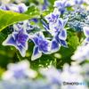 紫陽花(コンペイトウ)