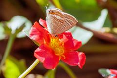 花に蝶(七)イチゴ味(無果汁)