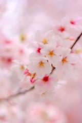 桜(2014)