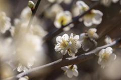 白い梅の花(建国記念の日)