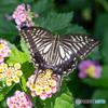 花に蝶(美しい翅)